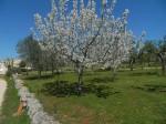 Viale con ciliegio fiorito